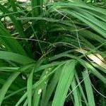 Seeds Nolina microcarpa-Nolina Microcarpa seeds, Dwarf Bear Grass