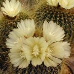 Notocactus claviceps-Seeds Cacti Eriocactus claviceps (Notocactus claviceps)