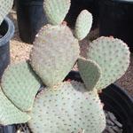 SEEDS  Cacti O