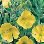 Seeds Oenothera lamarckiana (Common Evening Primrose)-Seeds Wildflowers Oenothera lamarckiana (Common Evening Primrose)