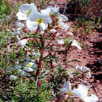 Seeds Oenothera pallida-Seeds Wildflowers Oenothera pallida (Pale evening primrose)