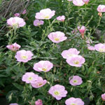 Seeds Oenothera speciosa (Showy Evening Primrose)-Seeds Wildflowers Oenothera speciosa (Showy Evening Primrose)