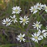 Seeds Oligoneuron album (White Upland Aster)-Oligoneuron album (White Upland Aster)