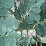 Seeds Olneya tesota (Desert ironwood)-OLNEYA tesota, Desert ironwood