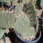 Opuntia engelmannii-Seeds Cacti Opuntia engelmannii (Engelman prickly pear)
