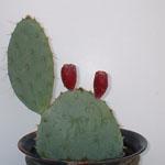 Opuntia engelmannii var. texana-Opuntia Englemannii var. texana