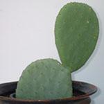 Opuntia ficus indica (Elephant ear)-Opuntia ficus indica (Elephant ear)