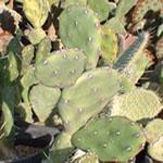 Opuntia paraguayensis-Seeds Cacti Opuntia paraguayensis (Orange tuna)
