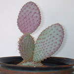 Opuntia violacea var. santa rita (Purple prickly pear)-Opuntia Violacea var. santa Rita (Purple Prickly Pear)