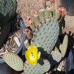 Opuntia rufida-Seeds Cacti Opuntia rufida (Blue variety)