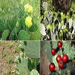 Opuntia species mix-Opuntia Species Seed Mix (Prickly Pear)