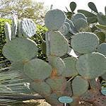 Opuntia robusta-Seeds Cacti Opuntia robusta
