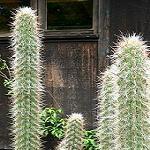 Oreocereus fossulatus v. rubrihorridispinus-Seeds Cacti Oreocereus fossulatus v. rubrihorridispinus