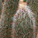 Oreocereus trollii-Oreocereus trollii