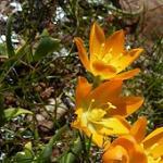 Seeds Ornithogalum maculatum-Ornithogalum maculatum