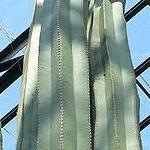 Stenocereus marginatus-Seeds Cacti Stenocereus marginatus (Mexican fencepost)