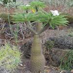 Seeds Pachypodium lamerei-Pachypodium lameri, Pachypodium lamerei