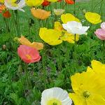 Seeds Papaver nudicaule (Iceland Poppy)-Seeds Papaver nudicaule (Iceland Poppy)