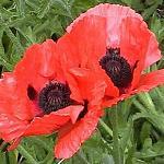 Seeds Papaver orientale (Oriental Poppy)-Seeds Papaver orientale (Oriental Poppy)