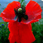 Seeds Papaver rhoeas (Red)-Wildflowers Papaver rhoeas, American legion red poppy