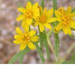 Seeds Pectis papposa-Seeds Wildflowers Pectis papposa, Cinchweed