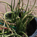 Pedilanthus macrocarpus (Lady slipper)-Pedilanthus macrocarpus (Lady slipper)