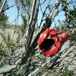 Peniocereus greggii v. transmontanus-Seeds Cacti Peniocereus greggii v transmontanus