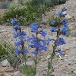 Seeds Penstemon pachyphyllus-Seeds Penstemon pachyphyllus (Utah Bluebells)
