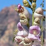 Seeds Penstemon palmeri (Wild pink snapdragon)-Seeds Wildflowers Penstemon palmeri (Wild Pink Snapdragon)