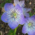 Seeds Phacelia grandiflora-Phacelia grandiflora
