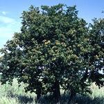 Seeds Pithecellobium flexicaule (Texas ebony)-Pithecellobium Flexicaule Texas, Ebony, Pithecolobium, Pithecellobium, flexicaule, Bean, fabaceae,