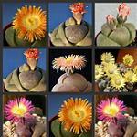 Seeds Pleiospilos species mix-Pleiospilos species mix