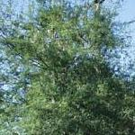 Seeds Prosopis pubescens-Prosopis pubescens, screwbean mesquite