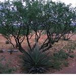 Seeds Prosopis juliflora-Seeds Prosopis juliflora (Velvet/Honey Mesquite hybrid)