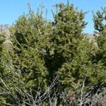 Seeds Prunus fasciculata (Desert almond)-Seeds Prunus fasciculata (Desert almond)