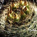 Pyrrhocactus curvispinus v. cambarbalensis-Pyrrhocactus curvispinus v cambarbalensis