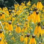 Seeds Ratibida columnifera RCOL (Prairie Coneflower)-Seeds Wildflowers Ratibida columnifera (Prairie Coneflower