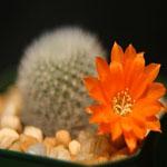 Rebutia spinosissima-Rebutia spinosissima