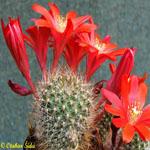 Rebutia albiareolata-Seeds Cacti (Rebutia)  Aylostera albiareolata (Including Alostera and Mediolobivia