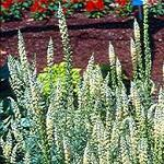 Seeds Reseda odorata (Sweet Mignonette)-Seeds Reseda odorata (Sweet Mignonette)