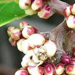 Seeds Rhus ovata-Seeds Rhus Ovata, Sugar Sumac, Sugar bush, Chaparral Sumac