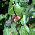 Seeds Rhus aromatica v. simplicifolia (Singleleaf skunk brush)-Seeds Rhus aromatica v. simplicifolia (Singleleaf Skunkbrush)