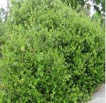 Seeds Rhus integrifolia-Rhus integrifolia (Lemonade Berry)