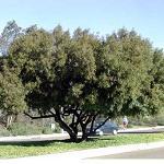 Seeds Rhus lancea (African sumac)-seeds Rhus lancea (African Sumac)