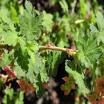 Seeds Ribes montigenum-Ribes montigenum