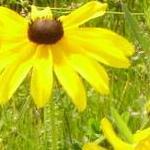 Seeds Rudbeckia hirta (Black-eyed Susan)-Seeds Wildflowers Rudbeckia hirta (Black-eyed Susan)