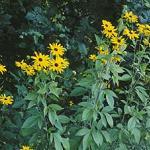 Seeds Rudbeckia subtomentosa (Sweet Black-Eyed Susan)-Wildflowers Rudbeckia subtomentosa (Sweet Black-Eyed Susan
