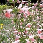 Seeds Salvia coccinea (Scarlet Sage)-Salvia coccinea seeds (Scarlet Sage)
