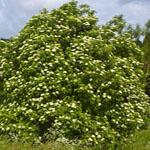 Seeds Sambucus nigra (Black elderberry)-Seeds Sambucus nigra (Black elderberry)