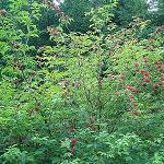 Seeds Sambucus racemosa-Sambucus racemosa (Red Elderberry)